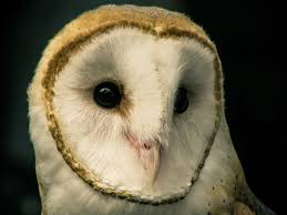 What Does A Barn Owl Look Like Meet The Birds Indiana Raptor Center