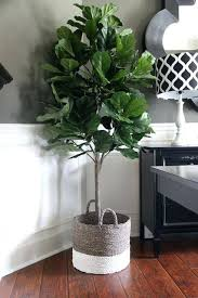 indoor house trees indoor house plant fiddle leaf fig indoor trees
