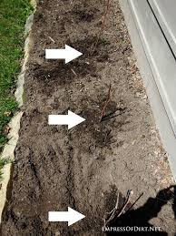 Transplant Fruit Trees - how to transplant raspberries empress of dirt