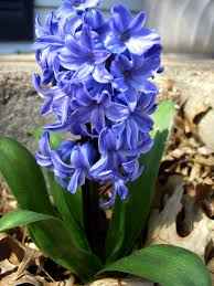 Hyacinth Flower How To Plant Potted Hyacinths Garden Guides