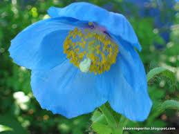 blue flowers bloomingwriter gardening in scotia those blue flowers