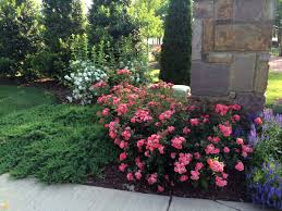 drift roses coral drift roses are fast growing easy care disease resistant