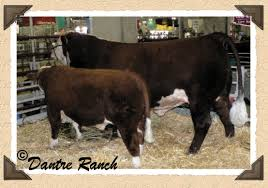 Backyard Cattle Raising Why Raise Miniature Herefords Great Information On Feeding