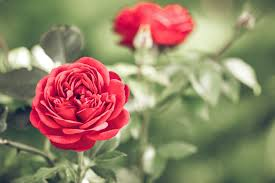 roses for valentines day top 7 reasons why your deserves roses on s day