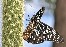 friday fact blue tiger butterfly australian butterfly sanctuary