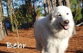 afghan hound rescue az view ad afghan hound great pyrenees mix dog for adoption florida