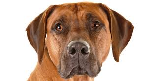 bluetick vs english coonhound rhodesian ridgeback dog breed information american kennel club