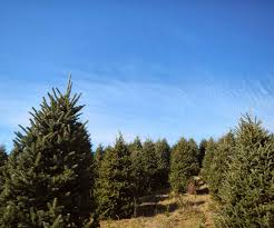 christmas tree farm andrews nc best images collections hd for