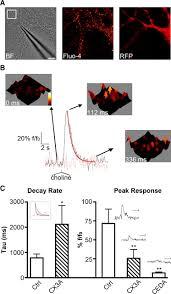 pmca2 via psd 95 controls calcium signaling by α7 containing