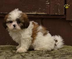 bichon frise shih tzu mix for sale yukon shih tzu puppy for sale in millersburg oh lancaster puppies