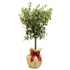 olive gifts birthday plants olive tree gift by giftaplant notonthehighstreet