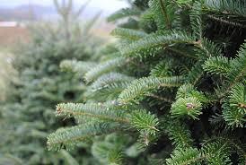 real christmas tree real christmas trees available now