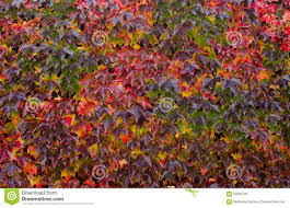 climbing plant with colored leaves in autumn stock photo image