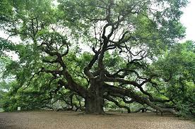 a but complete review of common oak tree species