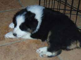 australian shepherd akc akc asca australian shepherd pups in hoobly classifieds