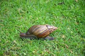 Where Can You Find Snails In Your Backyard From Pet To Threat The Giant African Snail