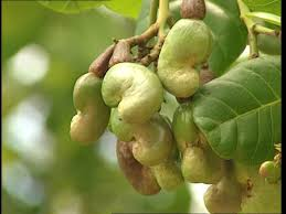 cashew tree mozambique sd stock 870 605 305 framepool