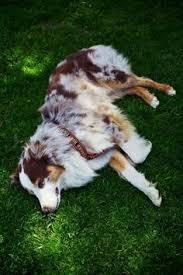 australian shepherd overprotective australian shepherd those eyes i need a dog for when i get