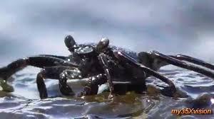 sand crab ohiki on richarson black sand beach hilo big island