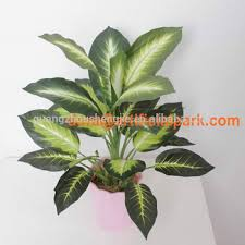 sjh012137 indoor ornamental plants pot plants evergreen