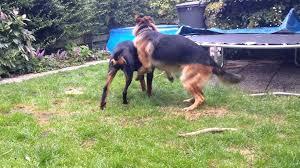 belgian shepherd vs pitbull fight doberman vs rottweiler vs german shepherd dog and cat