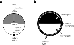 heterologous expression of c elegans ion channels in xenopus oocytes