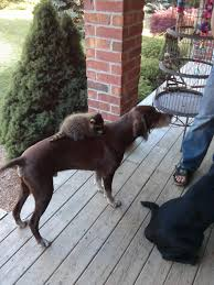 my raccoon likes to ride our dog around aww