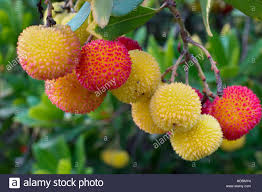 yellow orange and fruits of the strawberry tree arbutus