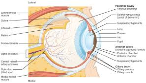 Outside Ear Anatomy Sensory Perception Anatomy And Physiology