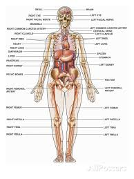 Human Anatomy Male Human Anatomy Major Organs Male And Female Major Organs Of The