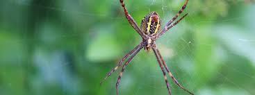 andrews cross spiders