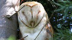 What Does A Barn Owl Look Like Bird Cams Faq Barn Owl Nest All About Birds