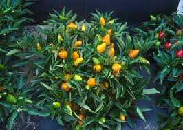 Decorative Vegetable Garden by Orange Pepper Plant Be Sure To Visit Gardenanswers Com And