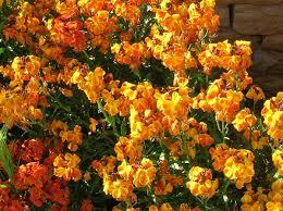 wall flowers wallflower wiktionary