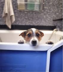 Dogs In The Bathtub My Dog Is Losing Hair U2026help Bathing U0026 Shedding U2014 Canine Skin Solutions