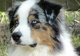 south texas australian shepherd breeders dog breeders and dogs for sale
