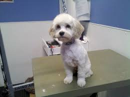 shichon haircuts the writing groomer sick day puppy pics