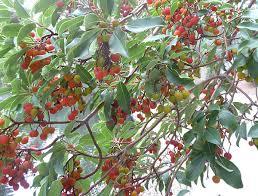 harvesting madrone berries