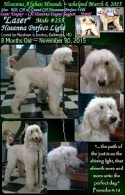afghan hound and poodle aaa cute puppies afghan hounds with monkey faces look like muppets