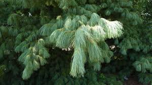 white pine trees white pine decline