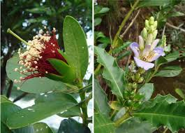 Fig Flower - flowers of mangrove plants vary greatly from the red staminal