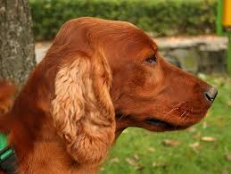 irish setter male dog names find a great red setter name plus breed information