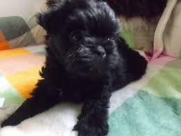 affenpinscher monkey dog affenpinscher puppies for sale ashby de la zouch leicestershire