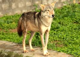 indian wolf facts information about the indian wolves