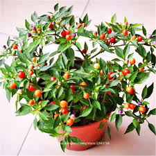 aliexpress buy 50pcs multicolored ornamental pepper seed