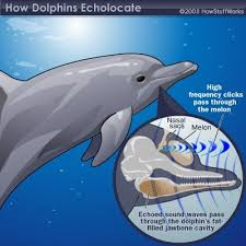 Male Dolphin Anatomy Best 25 Dolphin Facts Ideas On Pinterest Fun Facts About