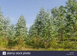detail of eucalyptus trees in galicia spain eucalyptus are used