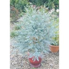 eucalyptus azura garden evergreen trees small