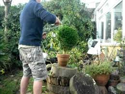 English Box Topiary - how to trim a box shrub into a ball in under 2 minutes youtube