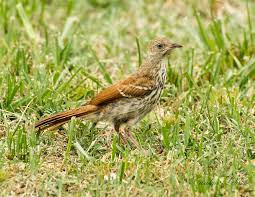 Pennsylvania birds images Brown thrasher birds of pennsylvania jpg